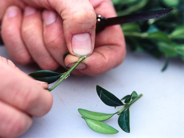 semi ripe cutting